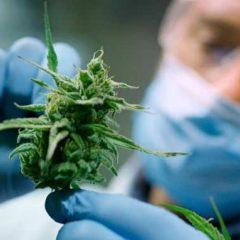 Argentina legaliza el cultivo de cannabis para uso médico individual