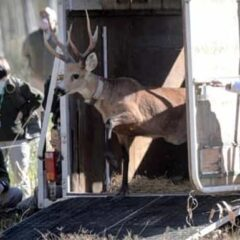 Escobar: Un ciervo en peligro de extinción fue liberado tras su rehabilitación en Temaikèn