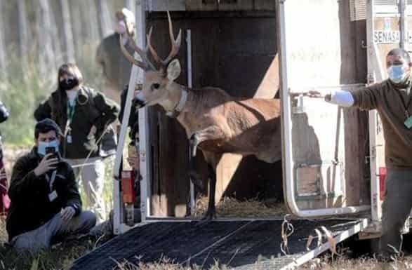 Escobar Un ciervo fue liberado tras su rehabilitación en Temaikèn